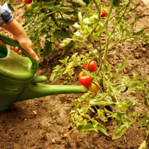 Im Hochbeet Tomaten richtig gießen